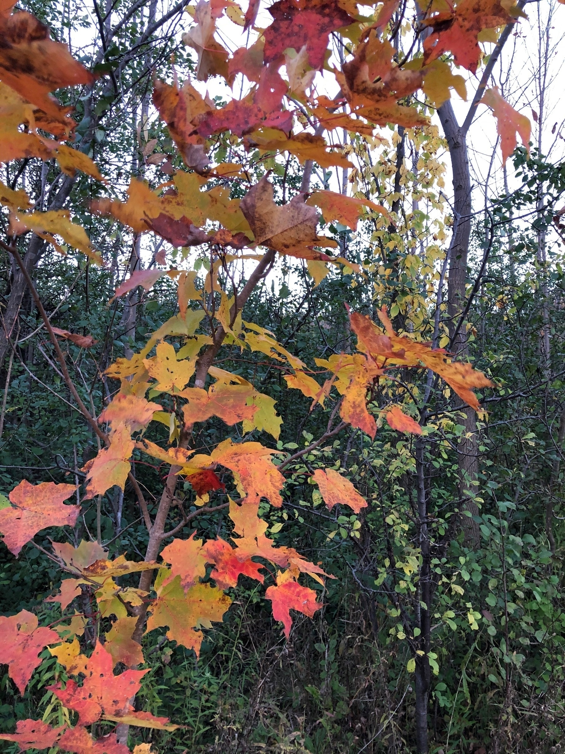 a small maple tree with orange leaves