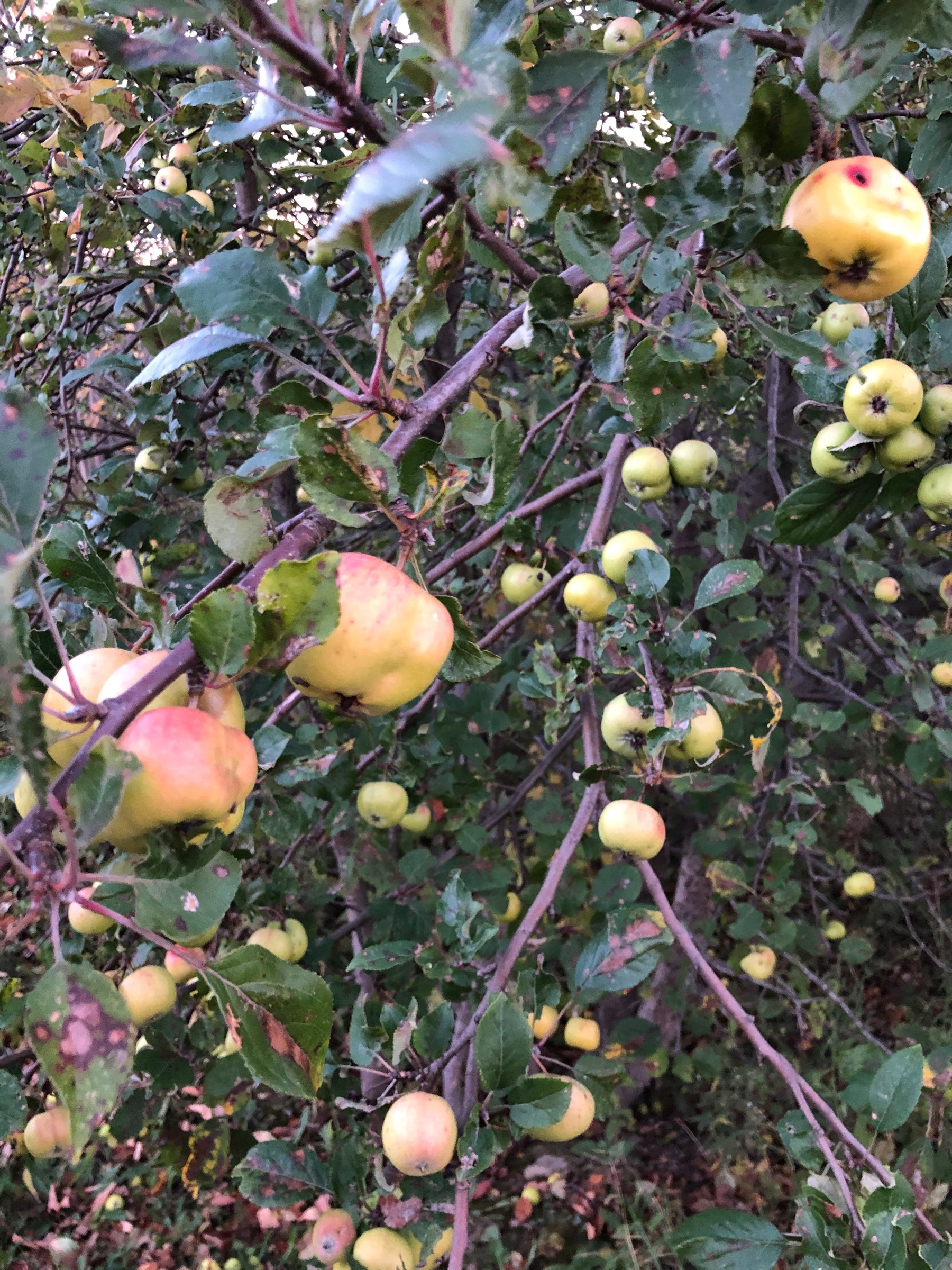 apple tree loaded with small yellow and red apples