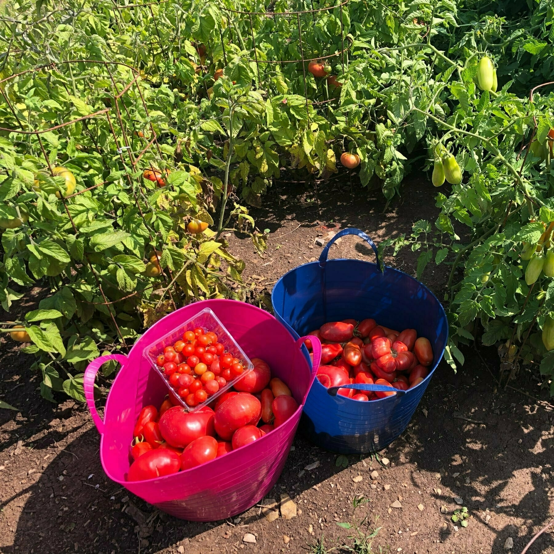 2 hampers and a small box of tomatoes sitting amidst tomato plants