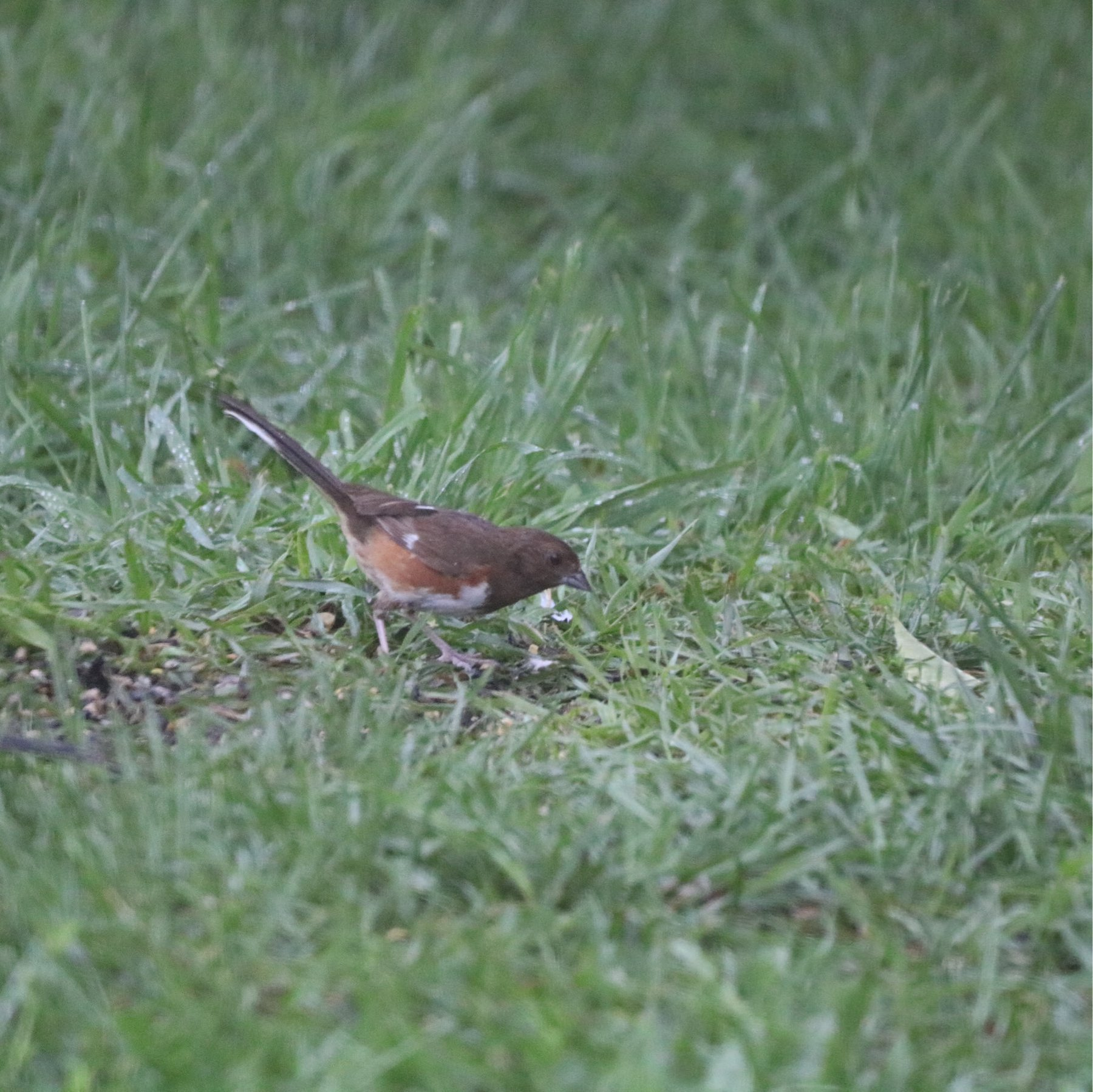 eastern towhee eating on the grass. she has a brown head, mottled brown and light breast with rusty sides and white stripes here and there