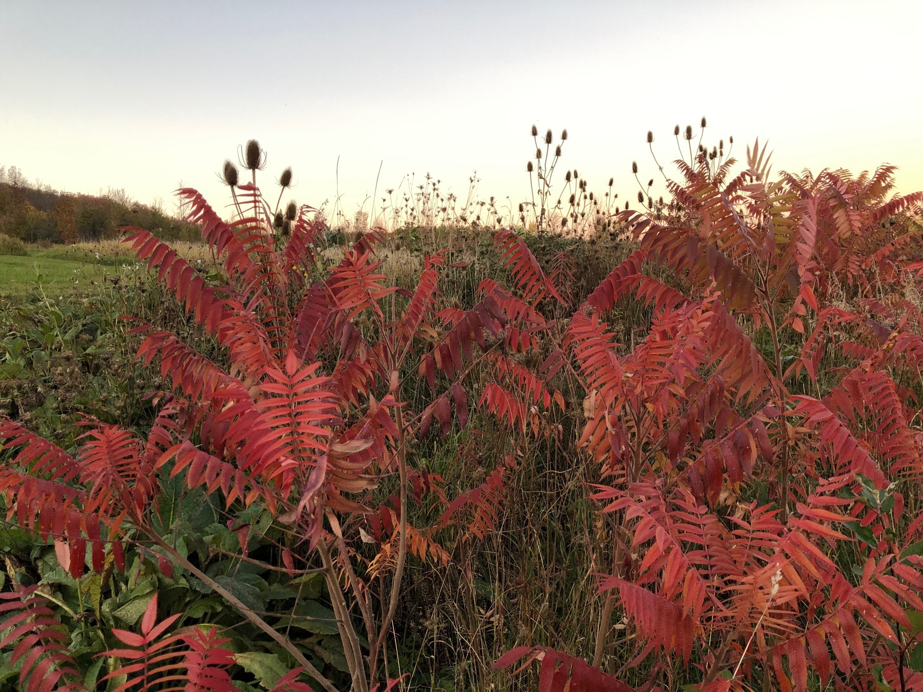 several sumac trees with red leaves