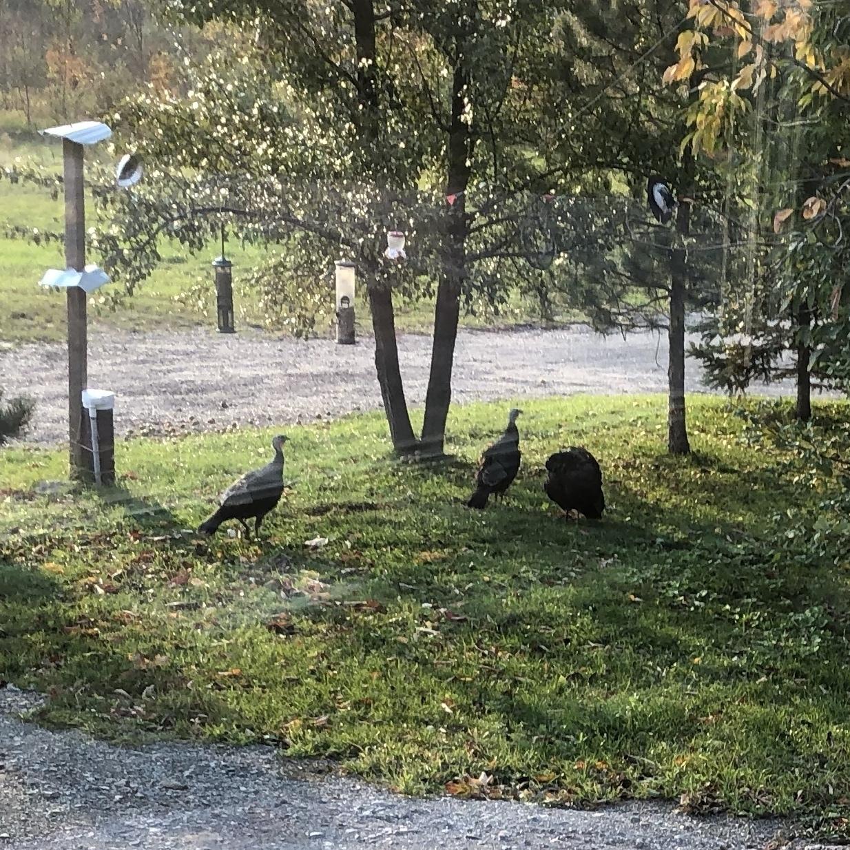 3 wild turkeys under some birdfeeders surrounded by trees
