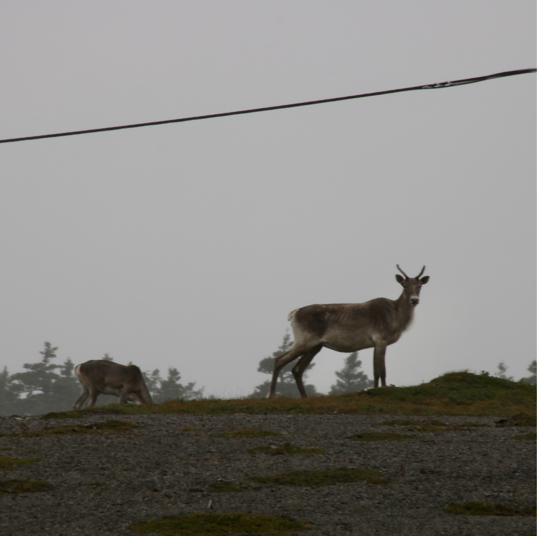 adult caribou with antlers. baby caribou in the background. the foreground is gravel and there are a few trees in the background