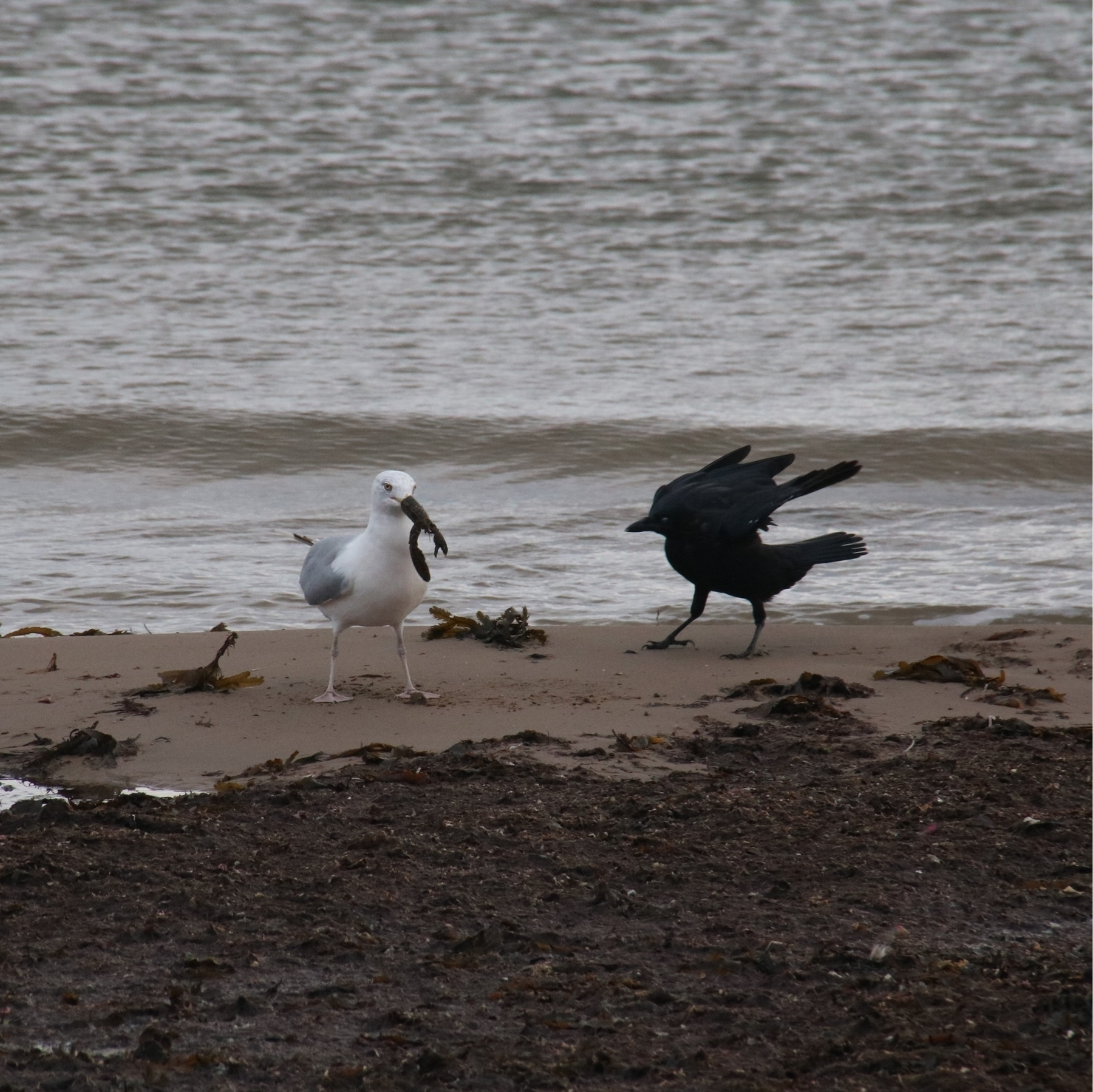 seagull with crayfish in its mouth. sandy beach covered in seaweed. a crow with its wings half folded