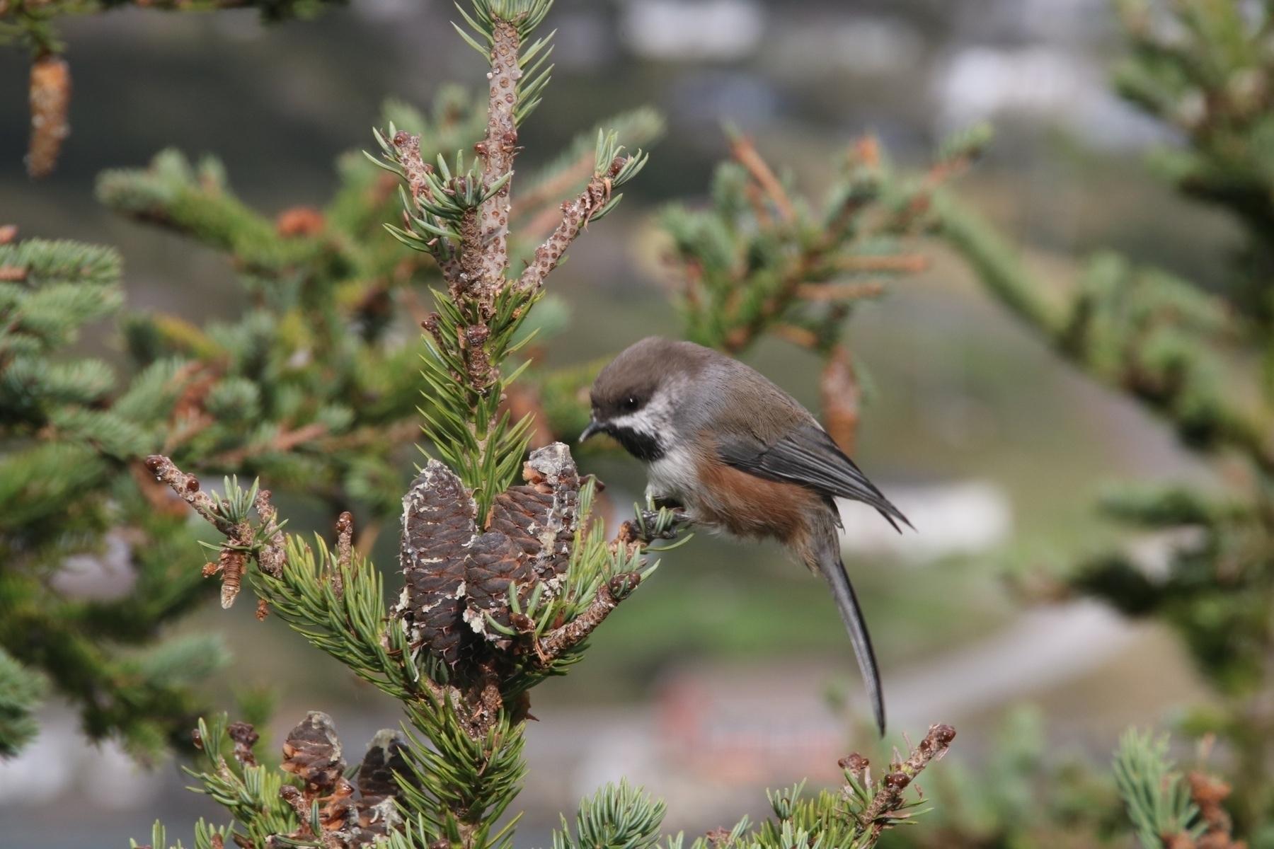 small bird eating from a fir cone
